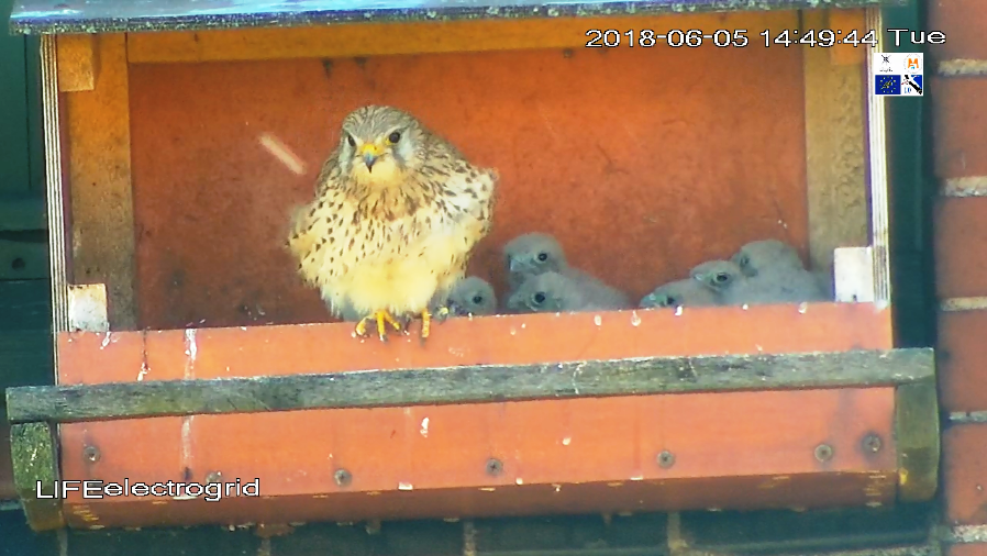 Watch live translation from the kestrels' nest!