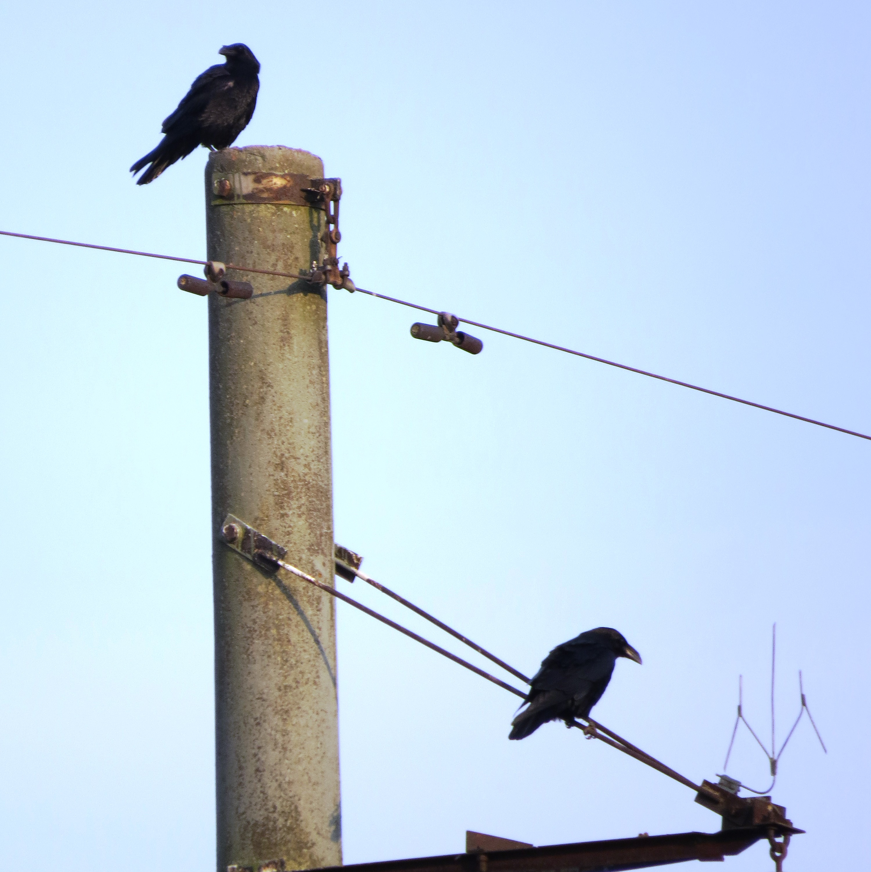 Ravens are guarding their nests
