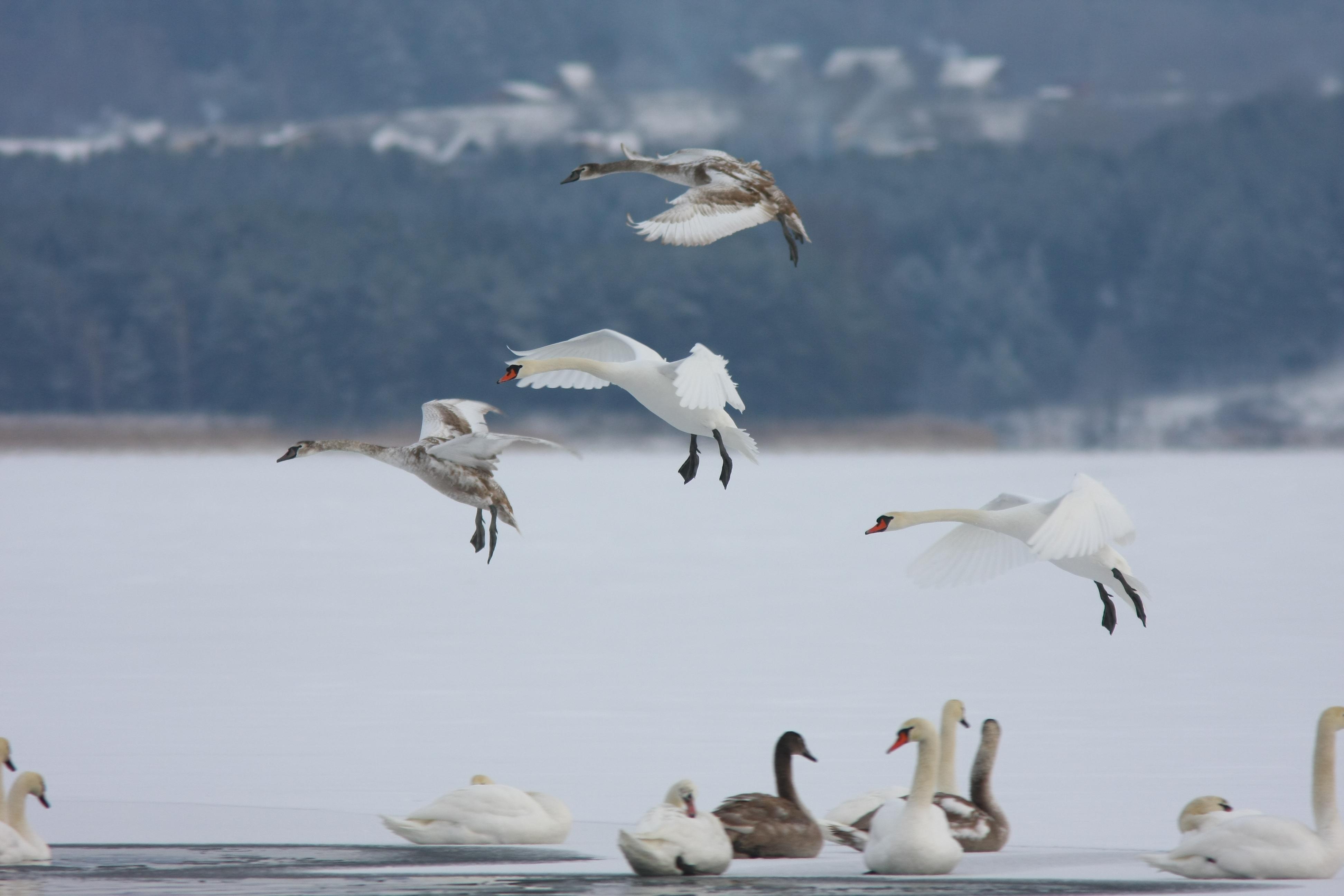 Neatsargūs ir nepagalvoti pasiplaukiojimai baidarėmis gali nužudyti žiemojančius vandens paukščius