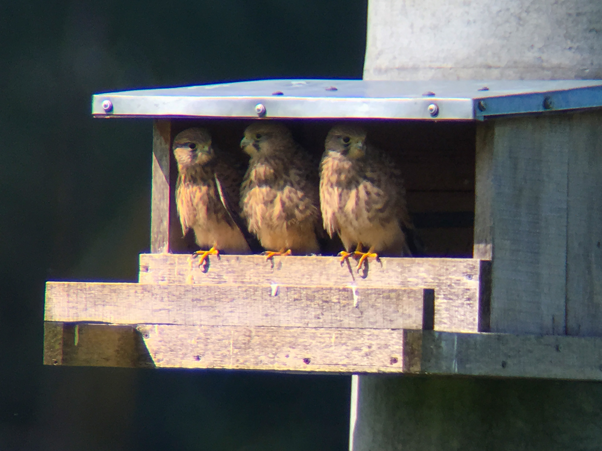 Overview of the Common Kestrels breeding season and occupation of nests in 2017